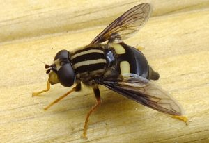 Three-LIned Hoverfly