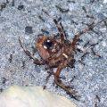 Argentine Ants eat Orbweaver