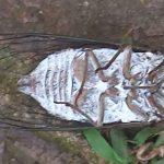Annual Cicada
