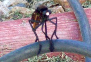 Robber Fly:  Archilestris magnificus