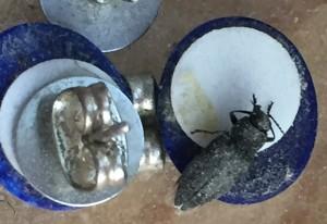 Black Fire Beetle