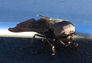 Male Black Horse Fly