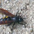 Scarab Hunter Wasp
