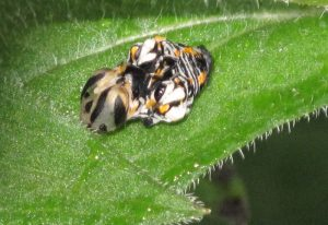 Possibly Baltimore Checkerspot Chrysalis