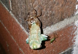 Annual Cicada Metamorphosis with Assassin Bug Observer