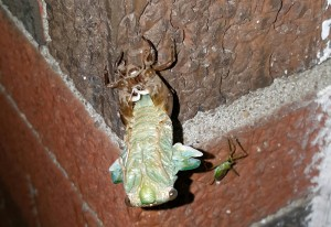 Annual Cicada Metamorphosis with Assassin Bug Observer