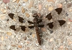 Female Common Whitetail