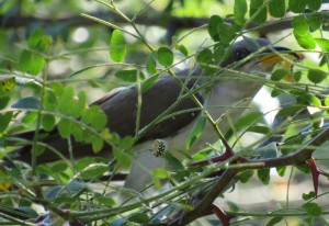 Cuckoo Eats White Flannel Moth Caterpillars