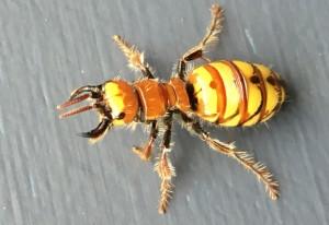 Female Flower Wasp