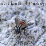 Possibly Tachinid Fly
