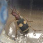 Ground Beetle:  Pheropsophus catoirei