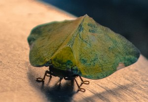 Free Living Hemipteran