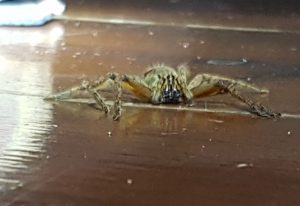 Giant Crab Spider eats Cricket