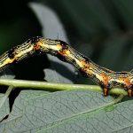 Legume Caterpillar