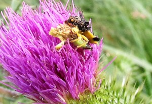 Mating Jagged Ambush Bugs