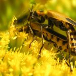 Mating Goldenrod Soldier Beetles