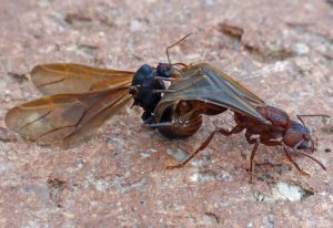 Mating Leaf-Cutter Ants