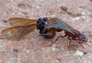Mating Leaf-Cutter Ants
