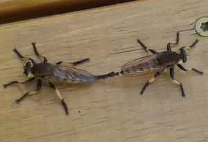 Mating Giant Robber Flies