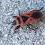 Mediterranean Red Bug
