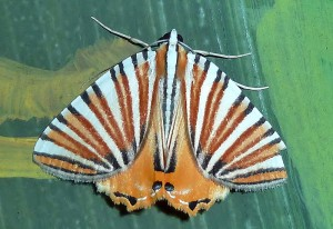 Geometer Moth: Pityeja histrionaria