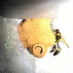 Black and Yellow Mud Dauber makes nest