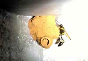 Black and Yellow Mud Dauber makes nest