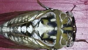 Northern Dusk Singing Cicada