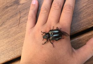 Odor of Leather Beetle