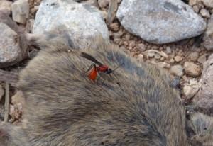 Parasitoid Wasp on Rat Carcass
