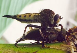 Red Footed Cannibalfly eats Horse Fly