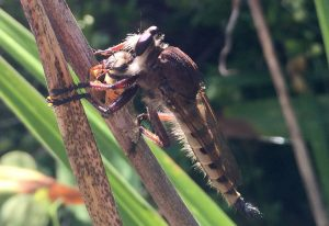 Red Footed Cannibalfly eats Honey Bee