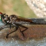 Robber Fly eats Blow Fly