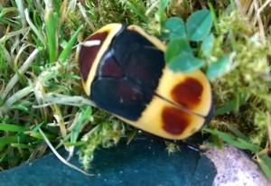 Sun Beetle:  Pachnoda marginata