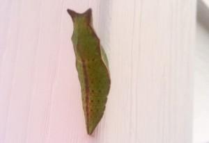 Spicebush Swallowtail Chrysalis