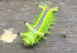 Stinging Slug Caterpillar