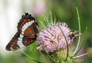 White Admiral and Bumble Bee