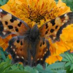 Anglewing Butterfly