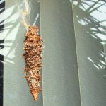 Bagworm Cocoon