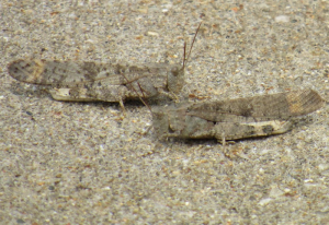 Band-Winged Grasshoppers