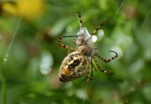 Banded Garden Spider Snares Honey Bee