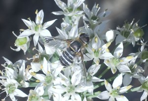 Bee Fly:  Villa lateralis