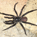 Male California Trapdoor Spider
