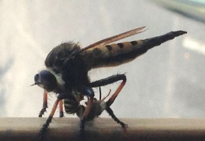 Possibly Red Footed Cannibalfly eating Wasp