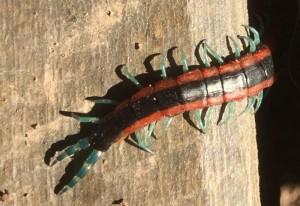 Giant Centipede:  Scolopendra laeta