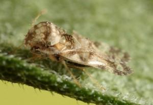 Chrysanthemum Lace Bug