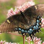 Female Tiger Swallowtail:  Dark Form