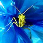 Egyptian Flower Mantis