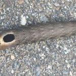 Ello Sphinx Hornworm