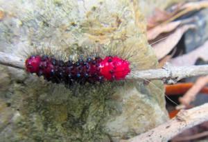 Faithful Beauty Caterpillar